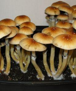 Buy Shroom Spores Online